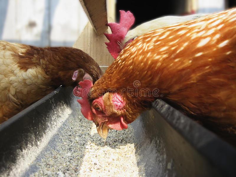 Почему куры выщипывают перья друг у друга, едят перья, что делать