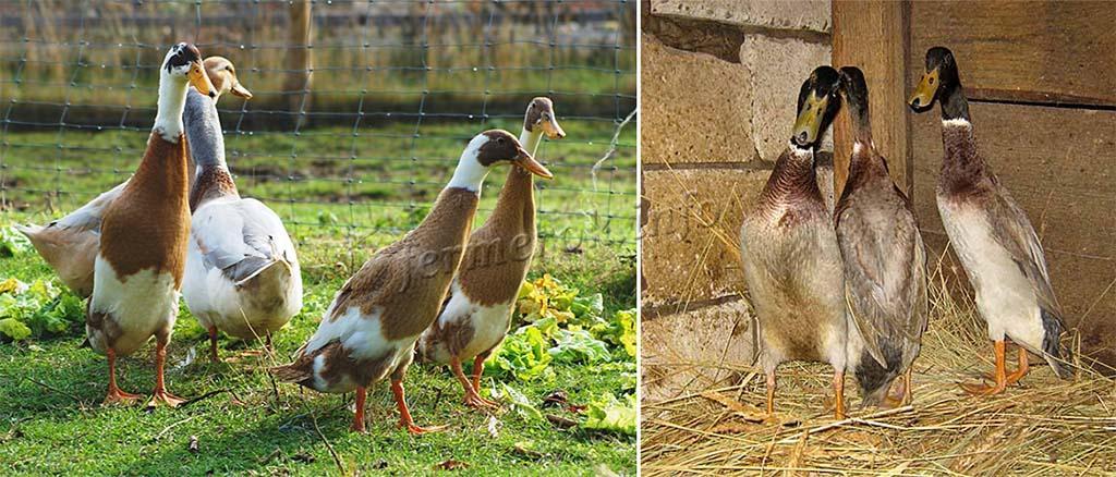 Утка индийский бегун: выращивание и разведение породы