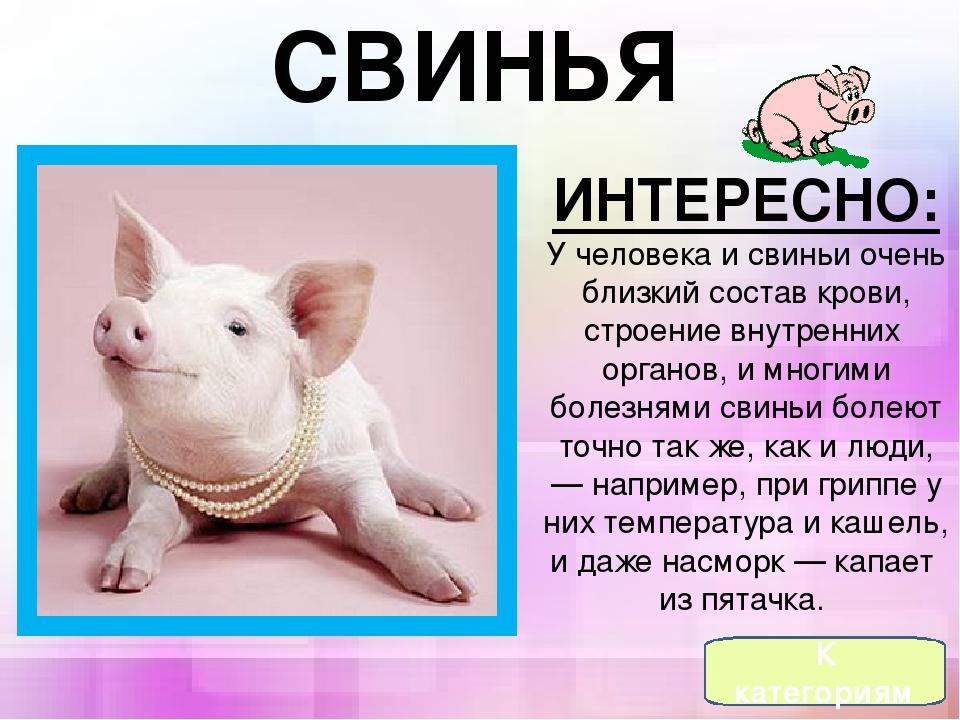 У свиньи температура: что делать, если у свиньи поднялась высокая температура, чем лечить