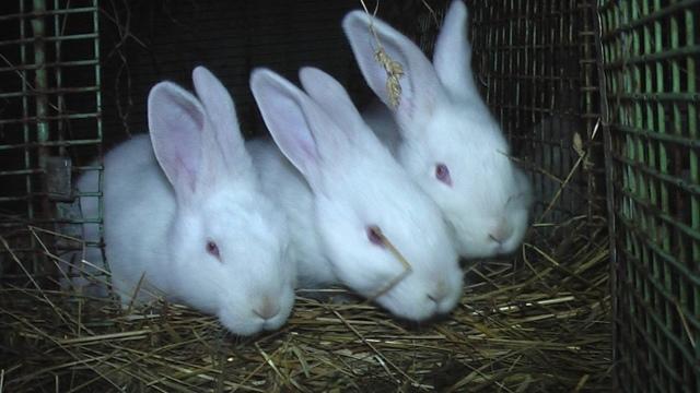 Венский голубой кролик: характеристика порода, фото, правила содержания и разведения, отзывы