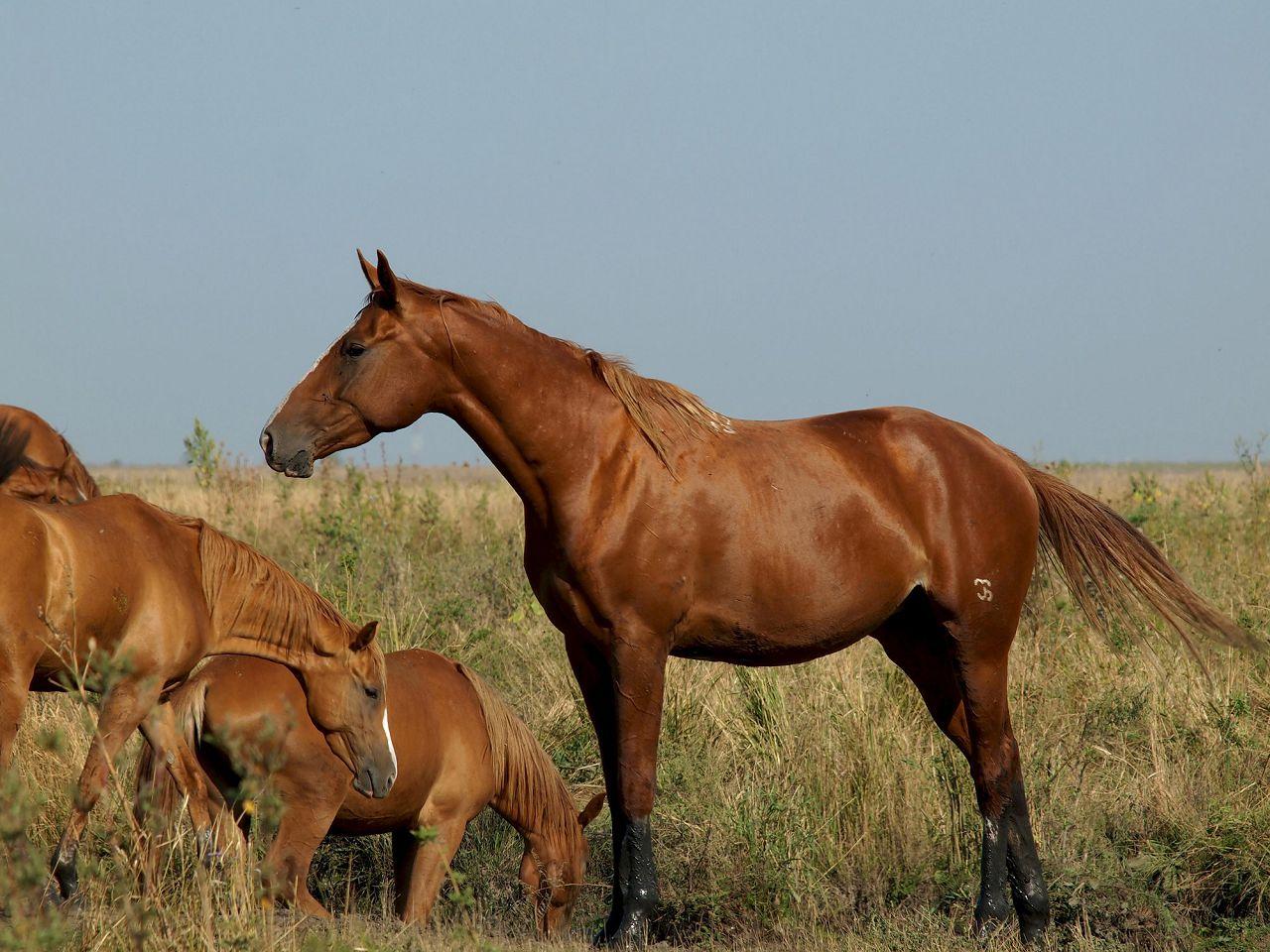 Будённовская порода лошадей: описание, содержание и уход