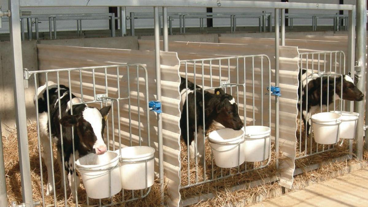 Домашняя корова: содержание, разведение, особенности ухода и разведения в домашних условиях (95 фото)