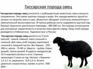 Романовская порода — жемчужина русского овцеводства