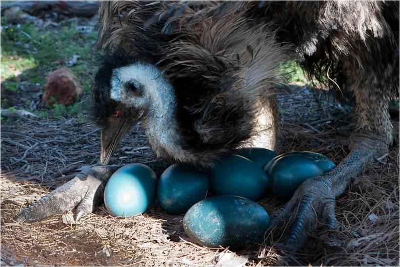 Особенности репродуктивной системы у страусов