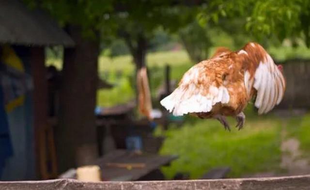 """""""как подрезать крылья курам, чтобы не летали"""" - зеленый огород"""