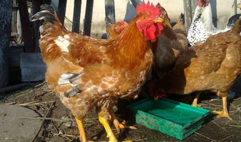 Универсальные куры для яиц и мяса — описание породы редбро