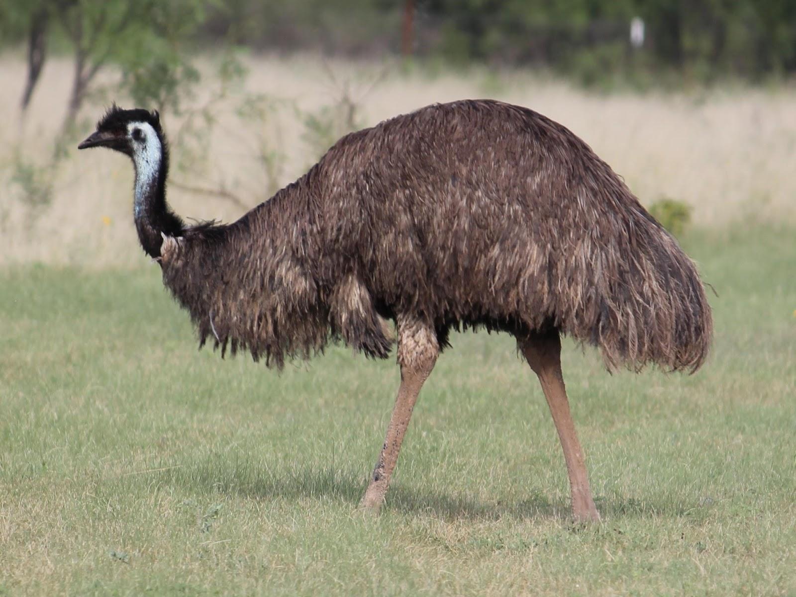 Австралийский страус: фото, описание и среда обитания ? естественные науки