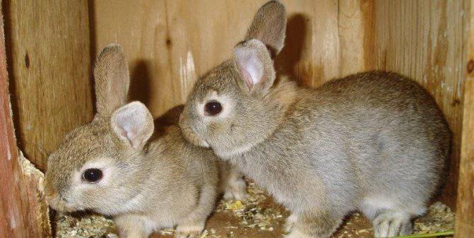 Кролики породы шиншилла: преимущества и недостатки разведения — cельхозпортал