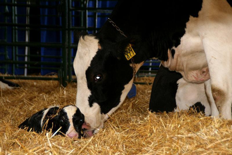 Послеродовой период у коров, кобыл, свиноматок и овец. инволюция половых органов