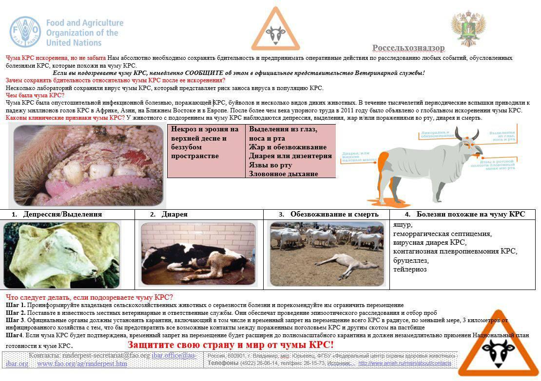 Биологические особенности крупного рогатого скота