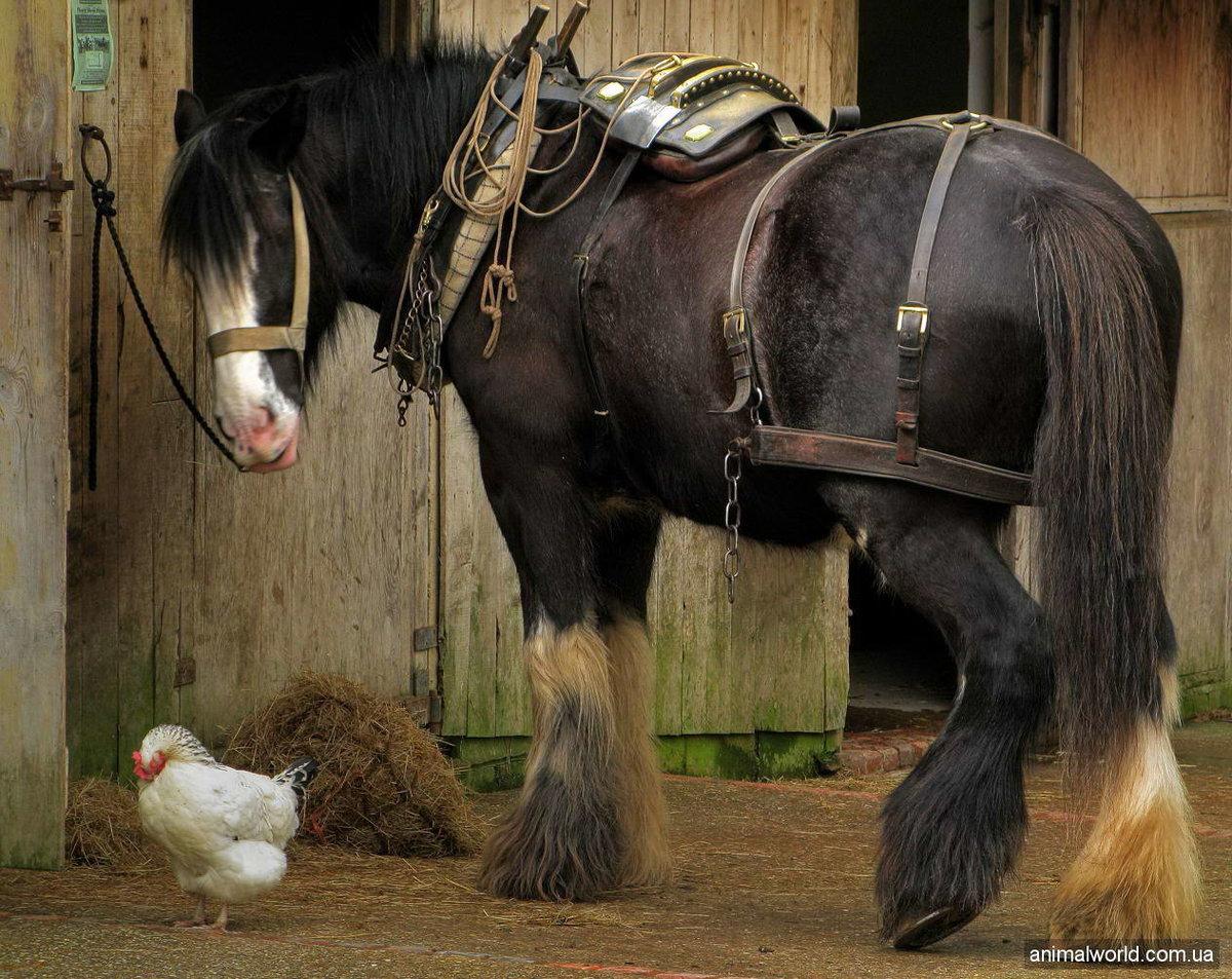Породы лошадей-тяжеловозов: названия, отличия, особенности содержания