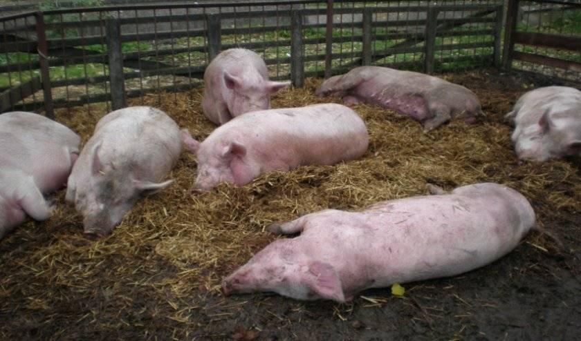 Симптомы африканской чумы у свиней: опасность для человека, лечение и диагностика