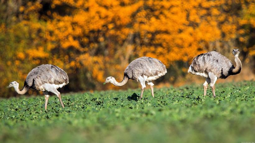 Страус нанду - описание, среда обитания, интересные факты