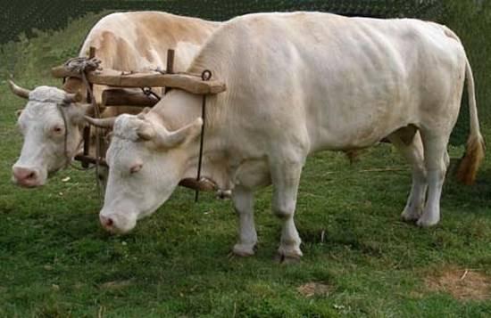 Кастрированный бык: причины кастрации, описание процедуры, назначение и применение вола в сельском хозяйстве
