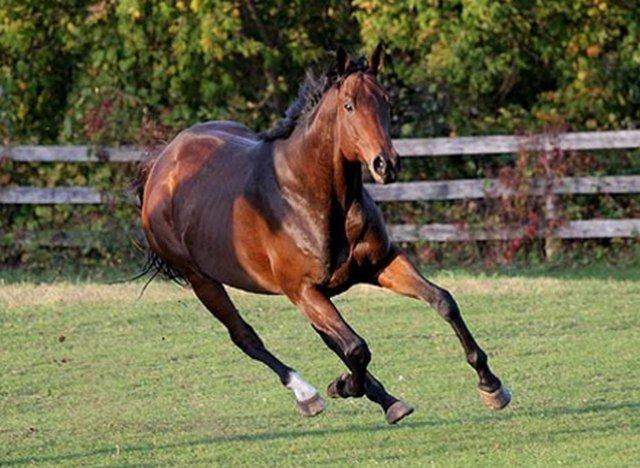 Вершина мирового коннозаводства – английская чистокровная лошадь |