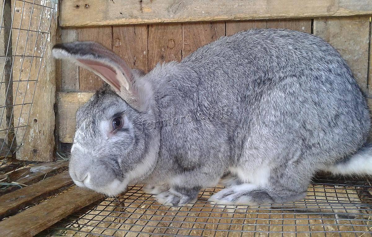 Кролик белый великан — характеристики породы