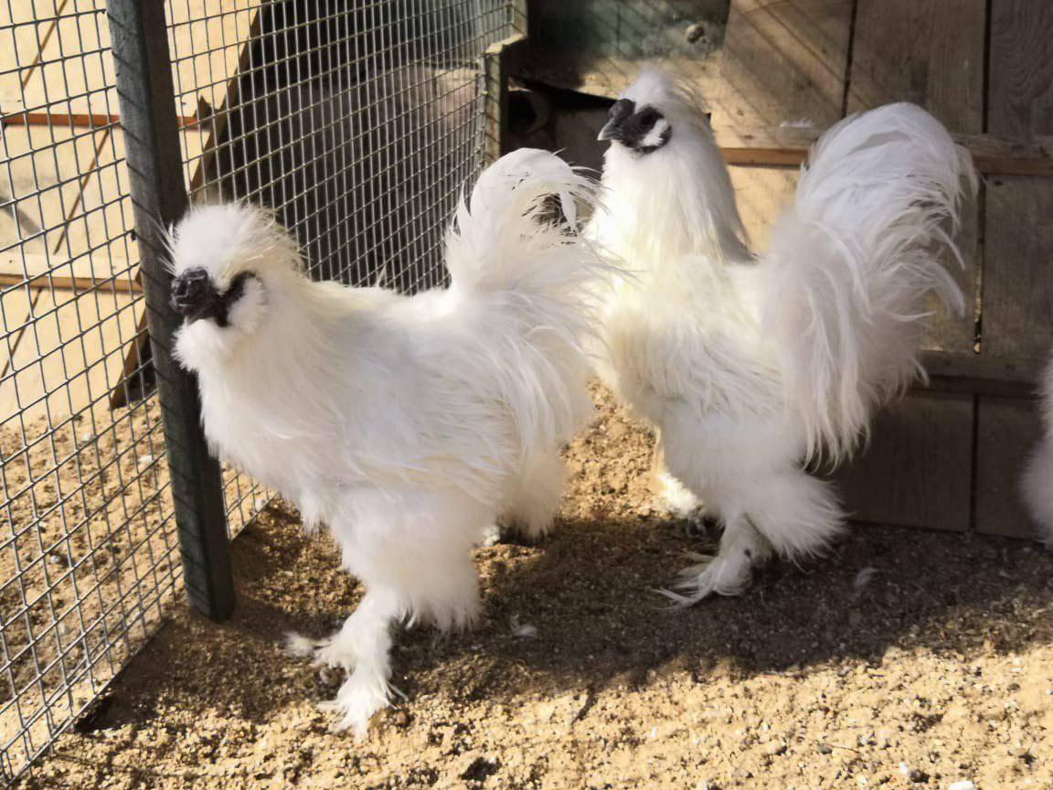 Китайские шелковые куры (30 фото): описание породы с шелковистыми перьями, содержание петухов-аборигенов, выращивание цыплят на мясо