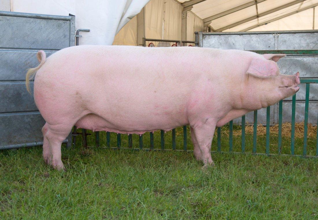 Ландрас — порода свиней: характеристика, описание, кормление и уход