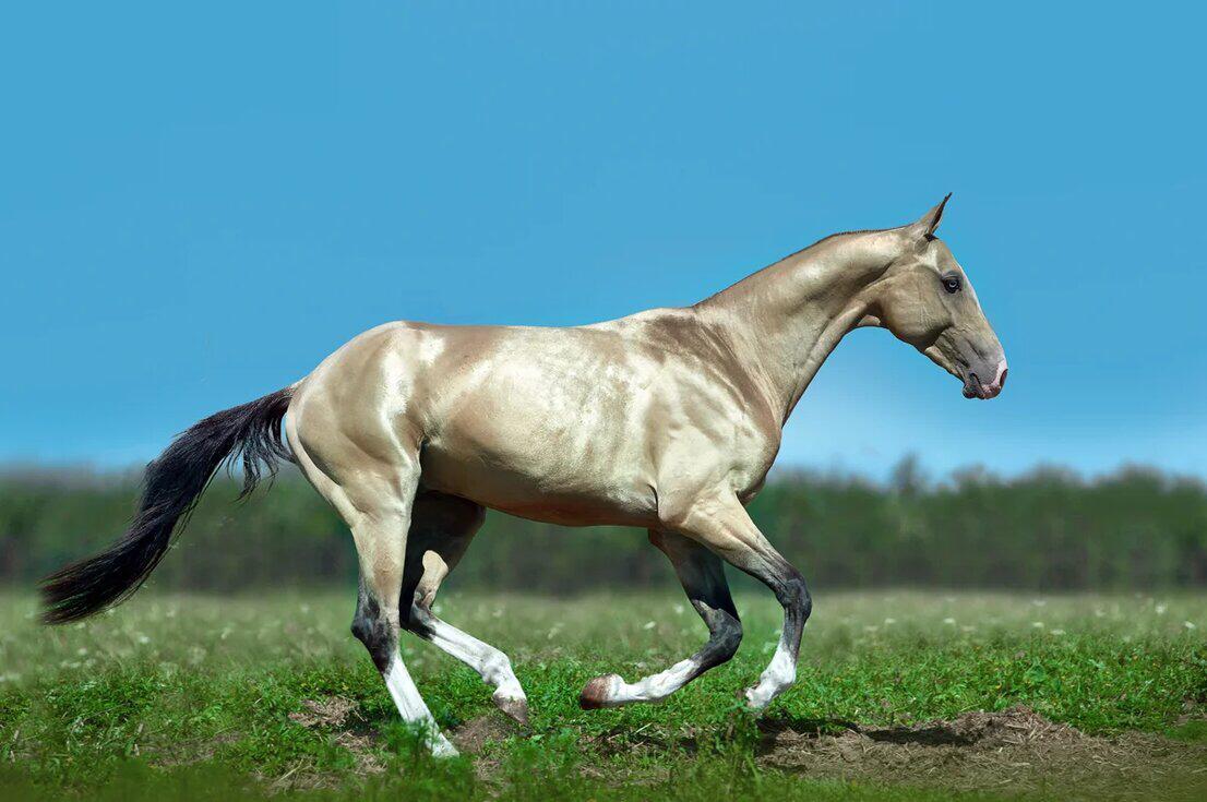 Ахалтекинская лошадь: исторические сведения, внешний вид и особенности содержания породы