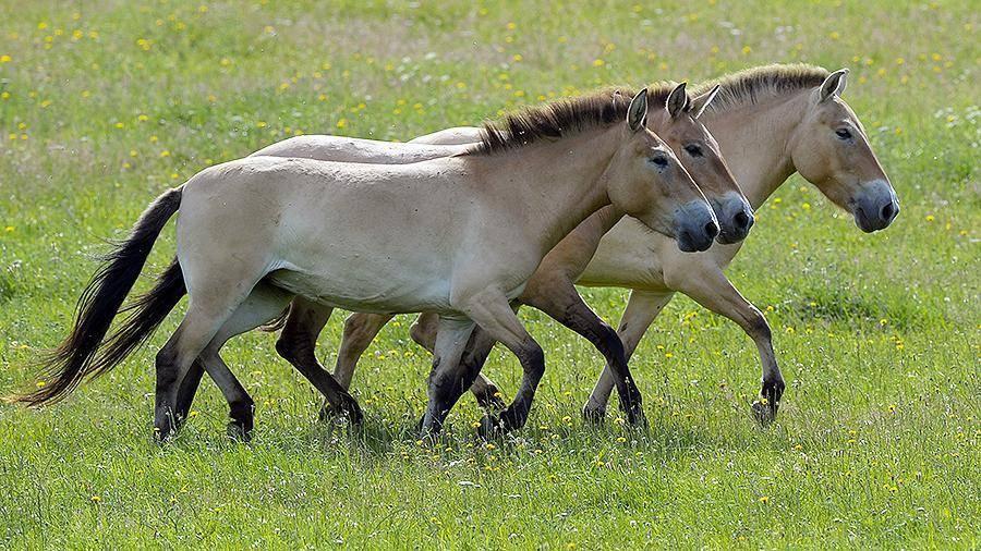 Лошадь пржевальского: описание, обитание, уход