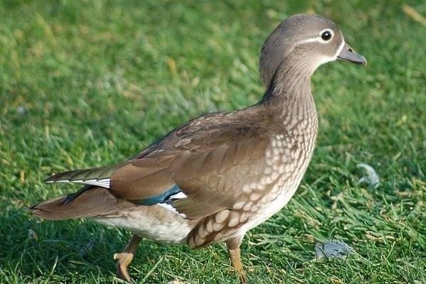 Все о породе американской утки каюга: описание, характеристики, выращивание