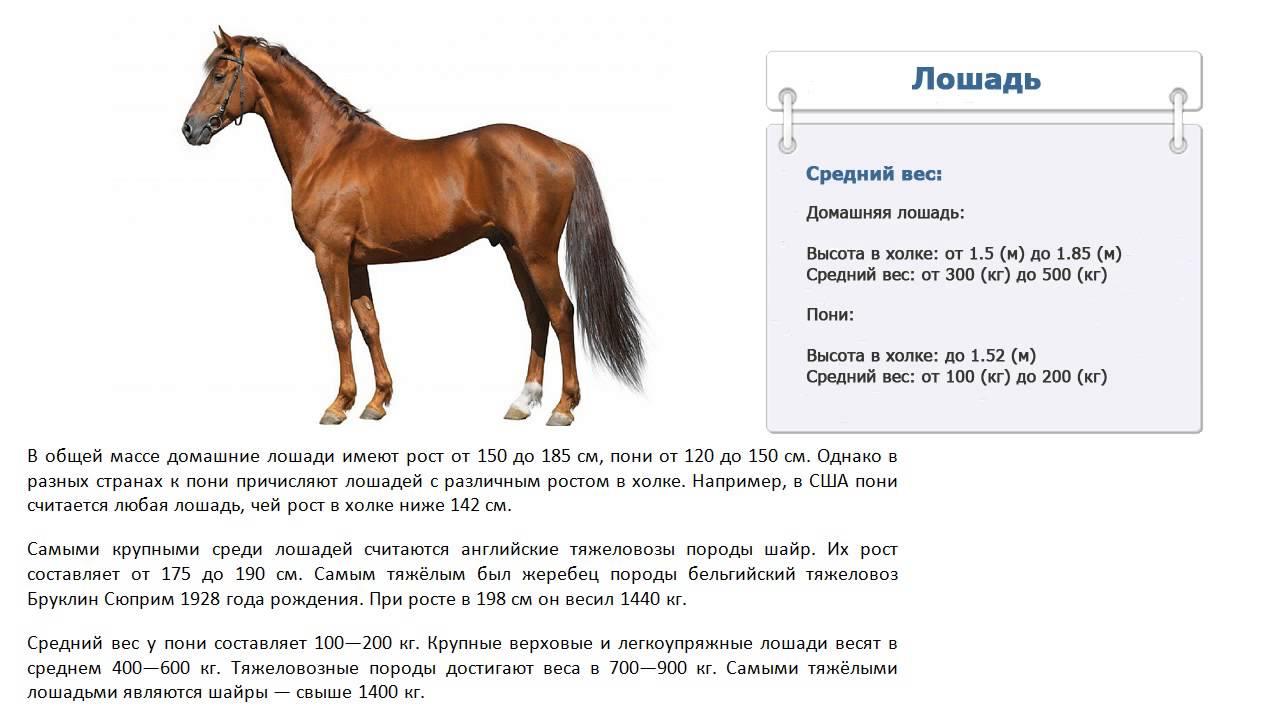 Сколько весит лошадь: средний вес коня, масса пони