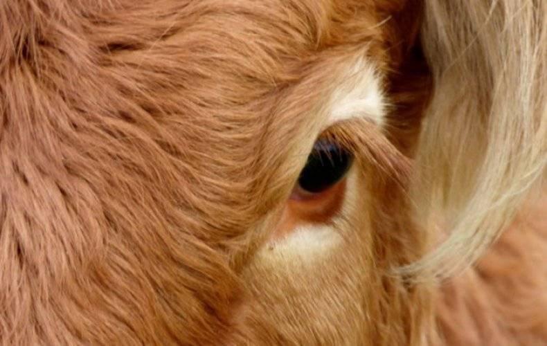 Почему слезятся глаза у теленка и чем лечить