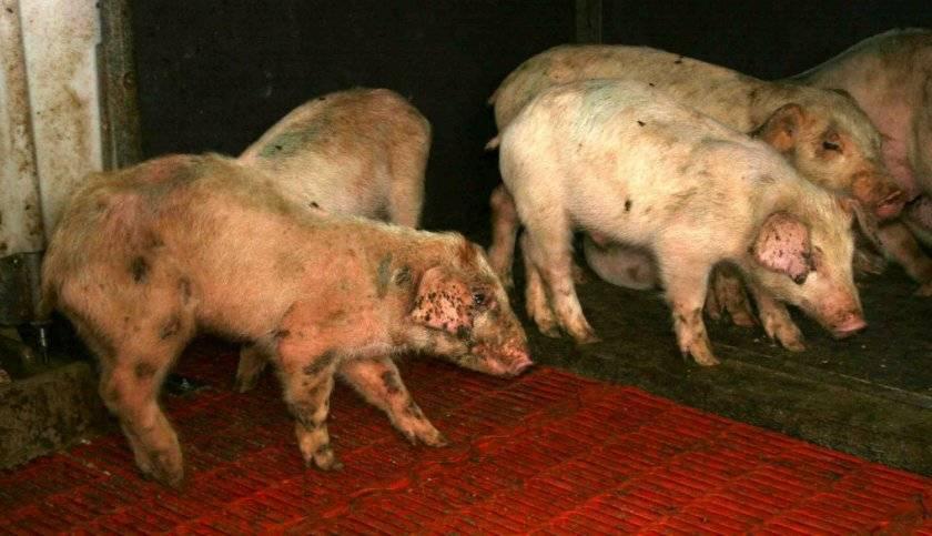 ᐉ чесотка у свиней: симптомы и лечение - zooon.ru