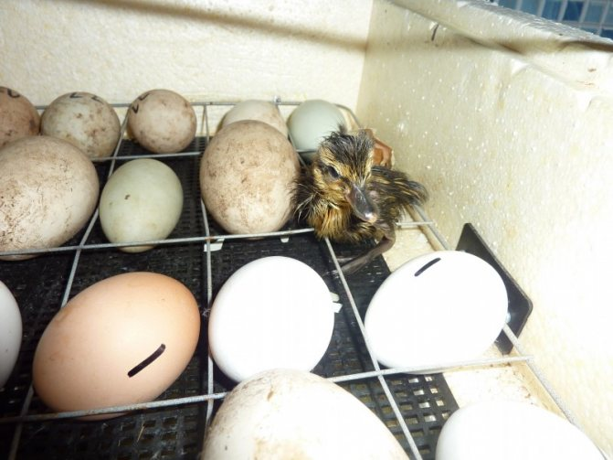 Сколько дней сидит индюшка на яйцах?