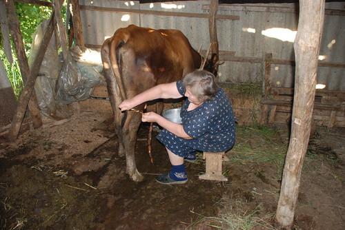 Корова лягается (бьётся) при дойке — почему, что делать, как отучить или привязать ногу