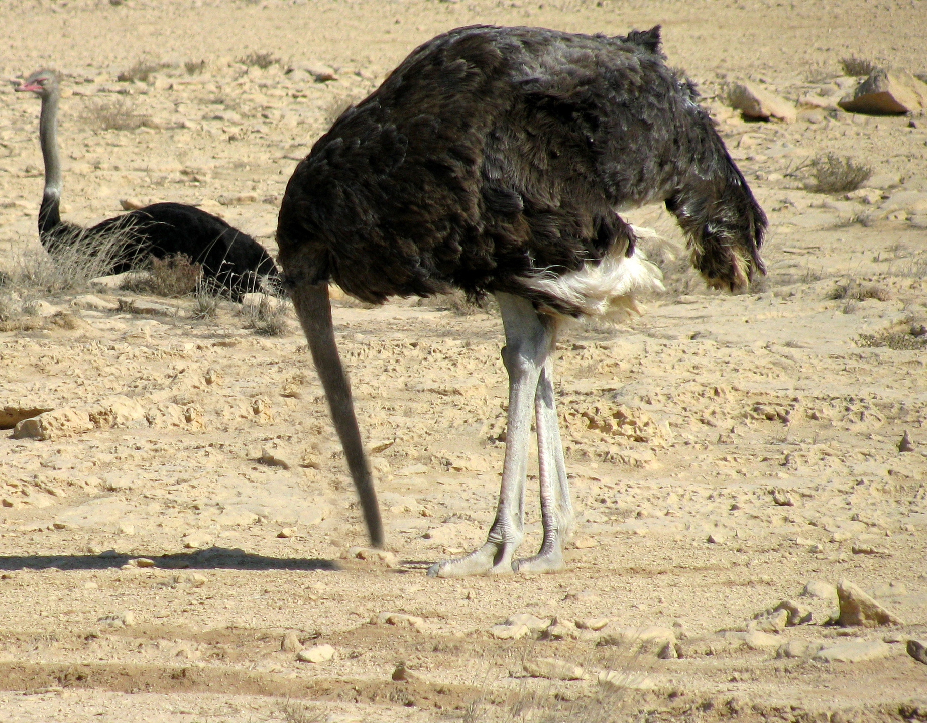 Почему страус прячет голову в песок: миф или реальность