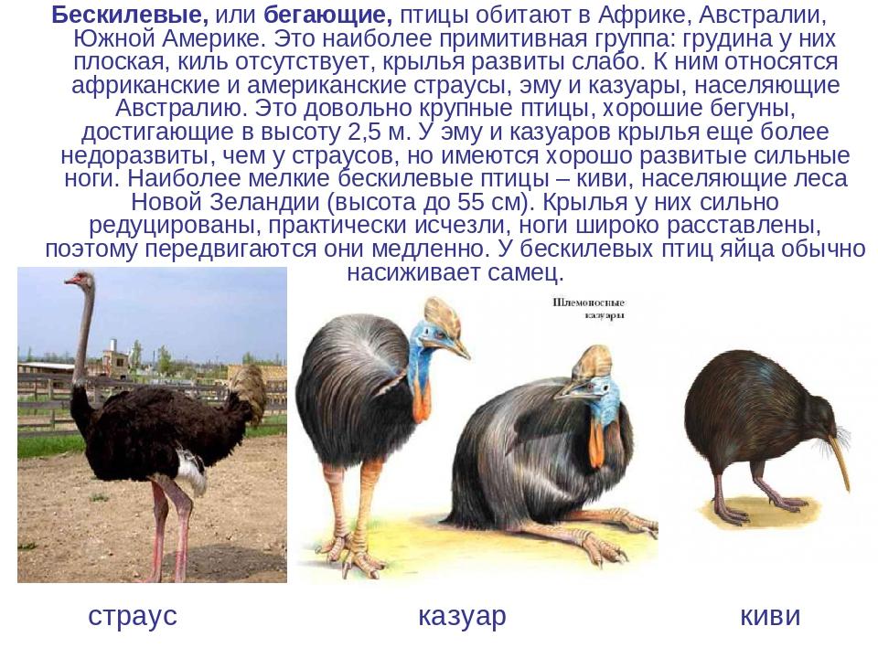 Страус нанду. образ жизни и среда обитания страуса нанду | животный мир