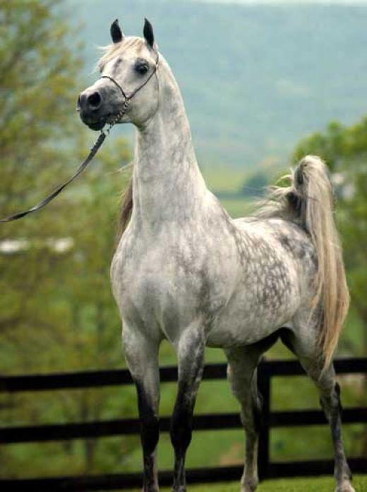 Арабская чистокровная порода лошадей, фотографии коней
