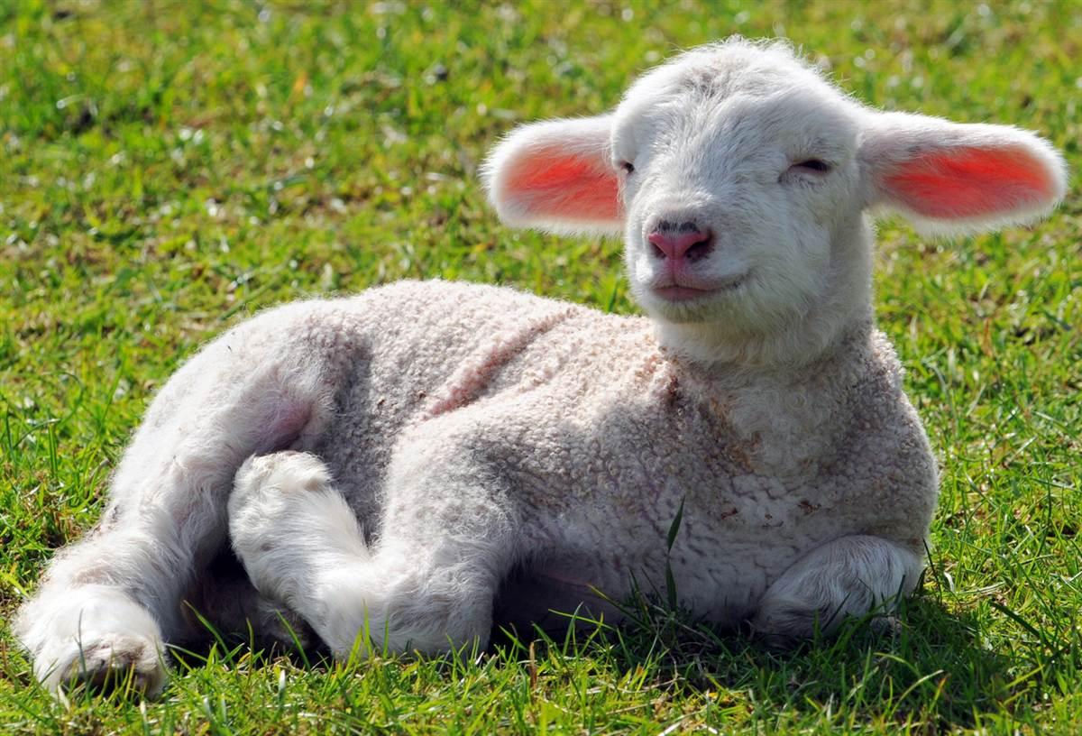 Как называется детеныш овцы: или кто такой ягненок