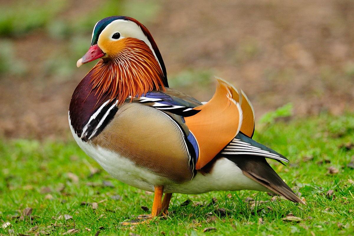 Породы уток (58 фото): лучшие виды домашних уток для разведения, разновидности птиц серого цвета с названиями и описанием