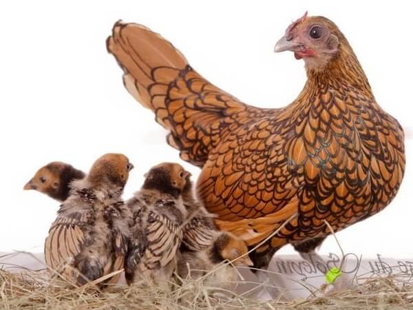 Карликовые куры: описание породы кур