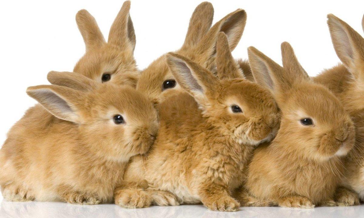 Кролики стучат задними лапами: язык тела и поведение, почему и что это значит
