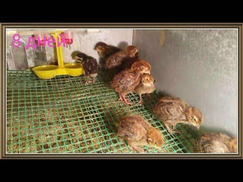 Выращивание и кормление молодых перепелов