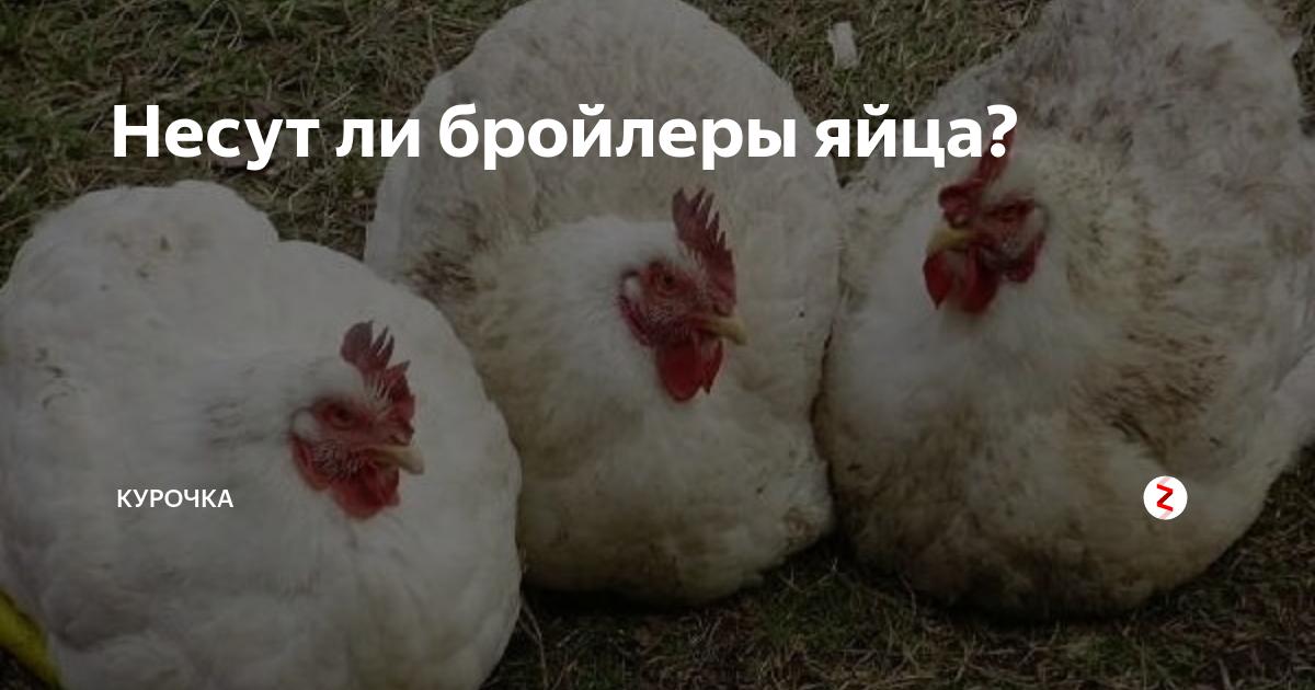 Как увеличить вывод цыплят в инкубаторе (точный контроль температуры скорлупы яйца)