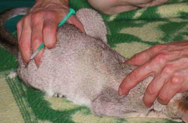 Глисты у кроликов, чем лечить кроликов от глистов - мы здоровы!