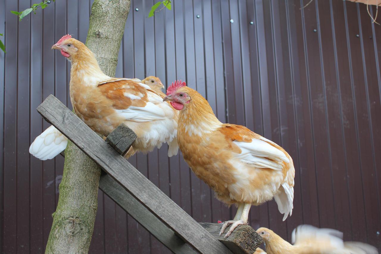 Виды пород карликовых кур и особенности ухода за домашней птицей
