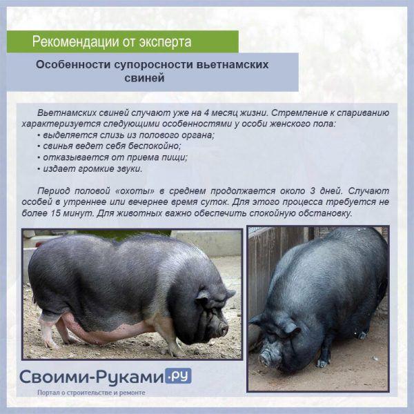 Сколько поросят рождается у свиней