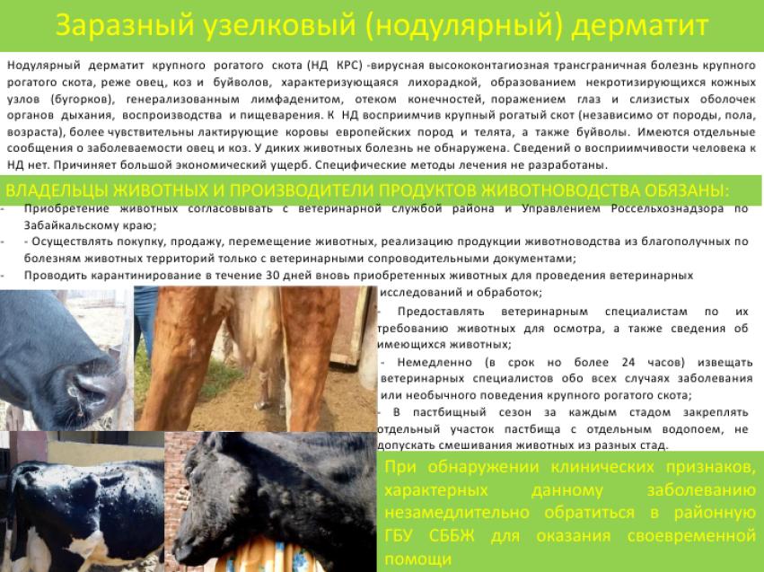 Нодулярный дерматит крс: причины, симптомы, лечение и профилактика | agrobook.ru
