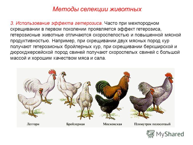 Промышленные кроссы кур для разведения в приусадебных хозяйствах | fermer.ru - фермер.ру - главный фермерский портал - все о бизнесе в сельском хозяйстве. форум фермеров.