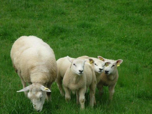 Породы овец - овцеводство - животноводство - собственник