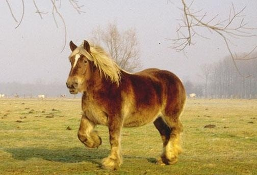 Порода лошадей русский тяжеловоз: фото, описание, нрав