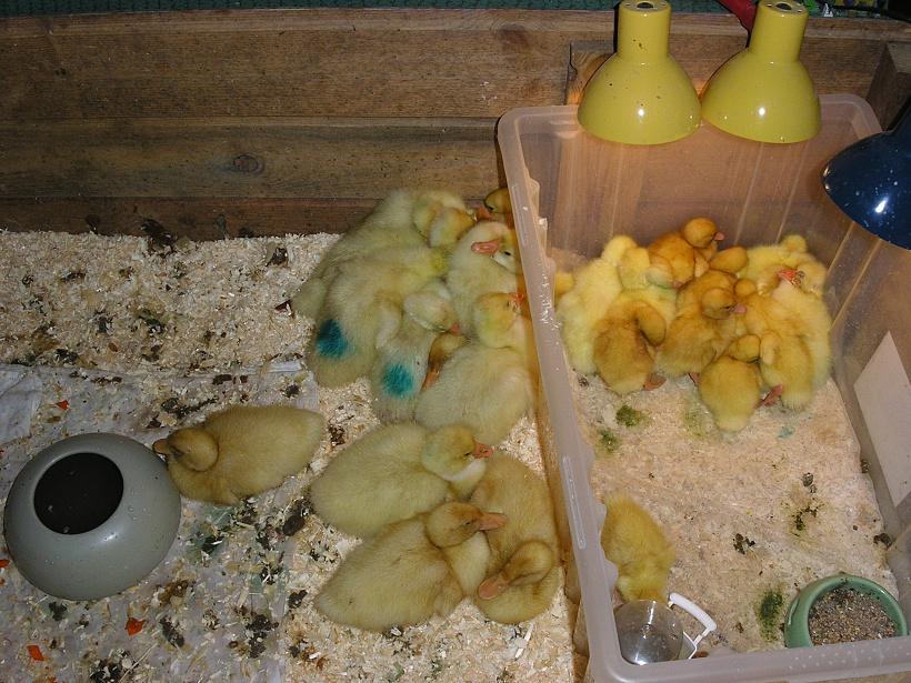 Выращивание суточных цыплят: уход и кормление