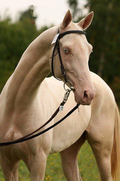 Изабелловая масть лошади: какой цвет, описание и фото