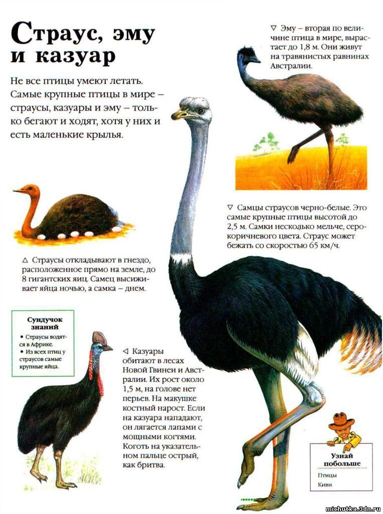 Чем кормить страусов эму?