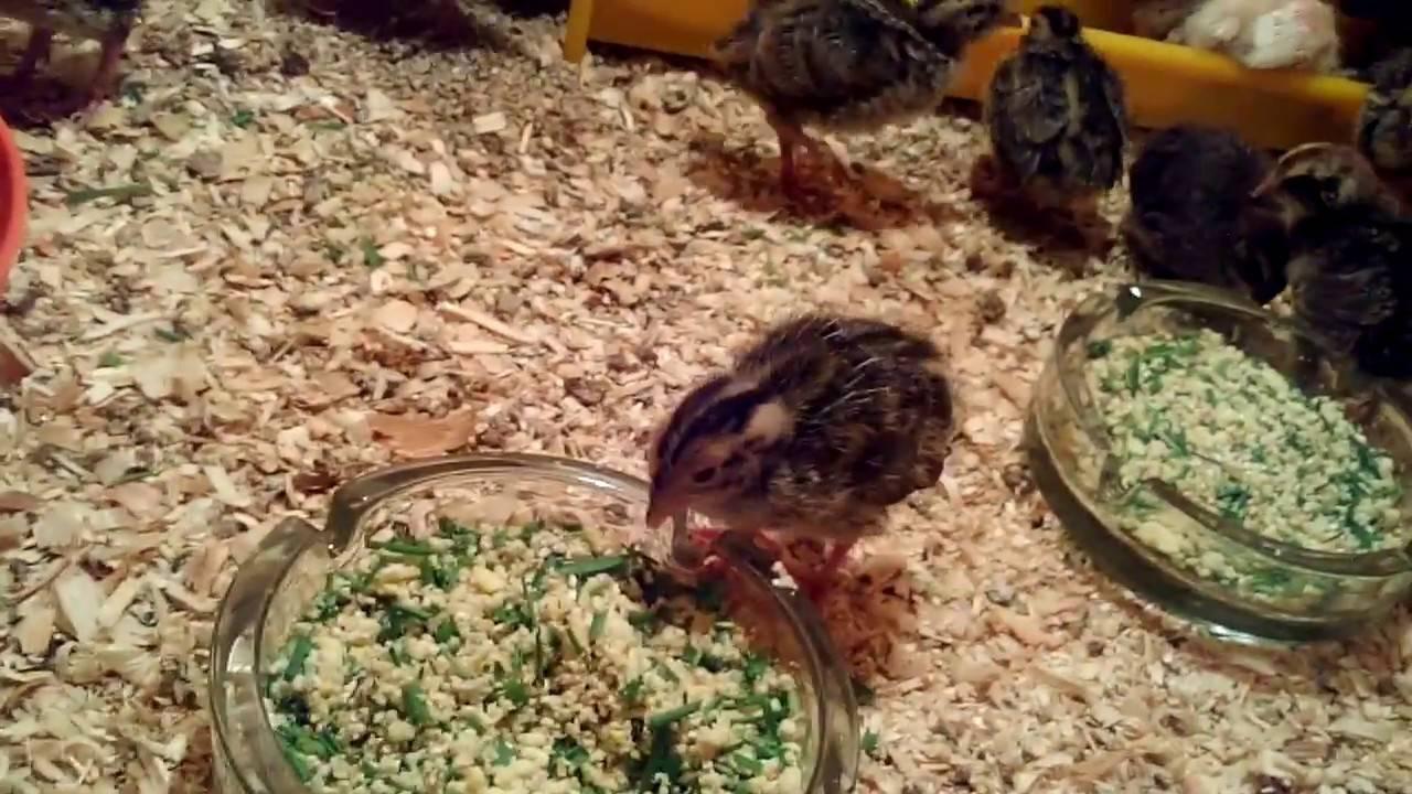 Чем можно кормить перепелок в домашних условиях: что едят и какую траву давать